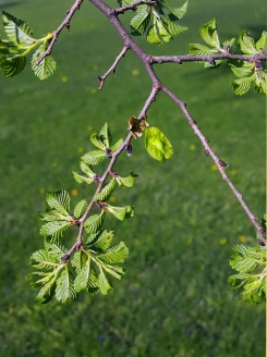 97-09-Ulmus_davidiana-2_OR-April2017_GP