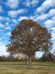 #97-21-Quercus_ lyrataxalba-7_GP