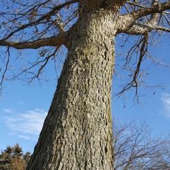 #97-21-Quercus_lyrataxalba-9_GP