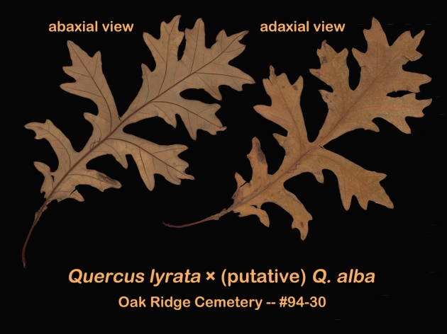 #97-21-Quercus_lyrataxalba-leaves8_GP