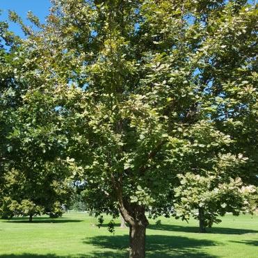 #99-14-Q_Dale-W Nurs-first tree-1_GP