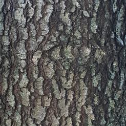 #99-14-Q_Dale-W Nurs-first tree-3_GP
