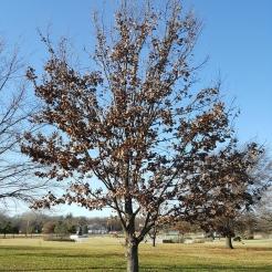 #99-14-Q_Dale-W Nurs-first tree-4_GP