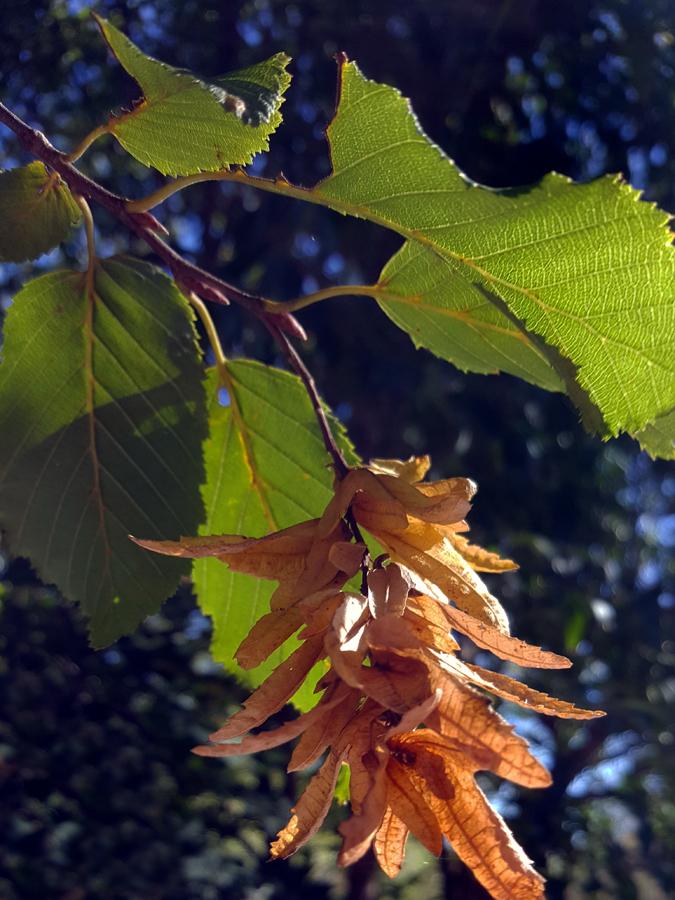 01-16-Carpinus_betulus-Friendless-9_SX_edited-1.jpg